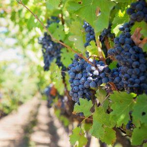 South Australia Vineyard btn